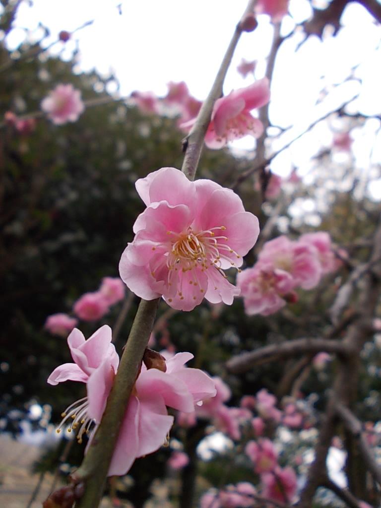 Japanese apricot 20170222