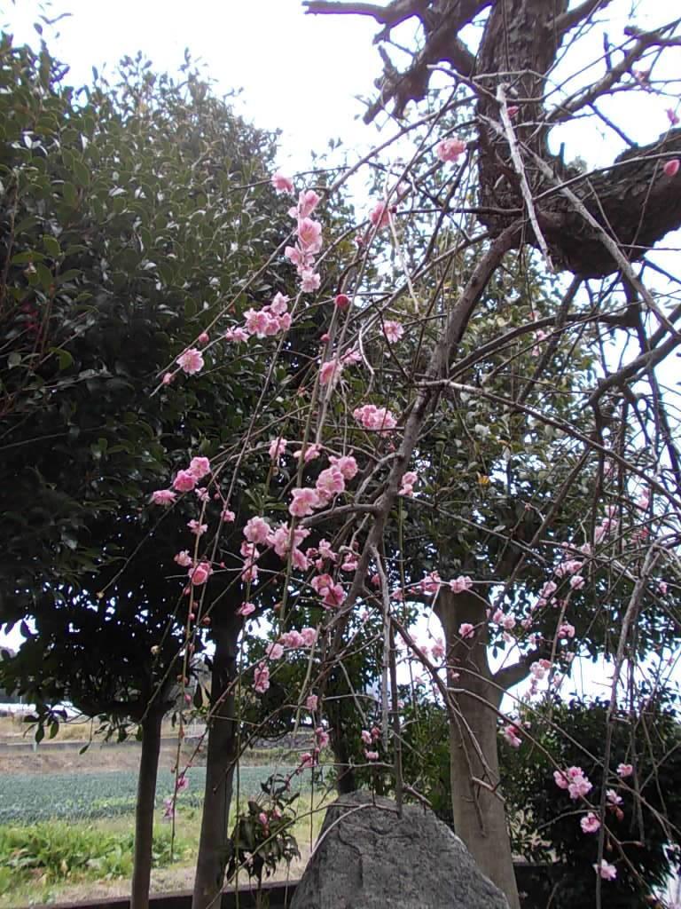 Japanese apricot 20170222-2