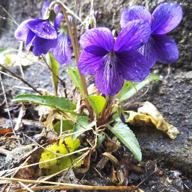 Violet 20170323-2