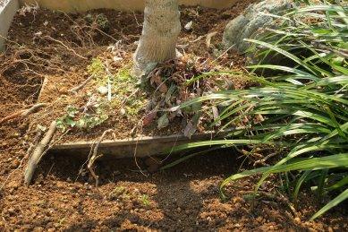 鉢が動かない-縁から底穴から根が飛び出し
