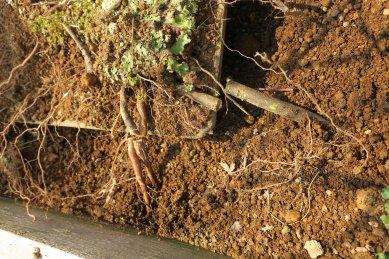 鉢縁から乗り越えて肥大した根をノコギリで切る