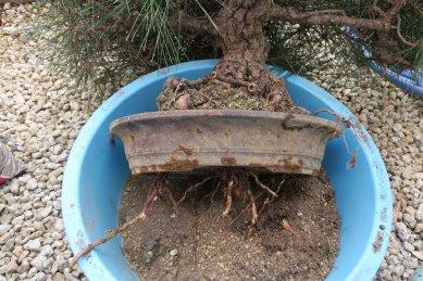 黒松・鉢底穴からの根
