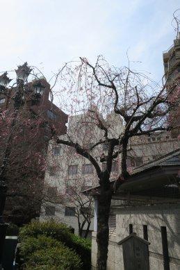 花の終わった枝垂桜