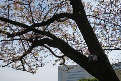 花の散った大寒桜