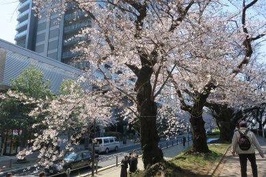 牛込濠土手の桜