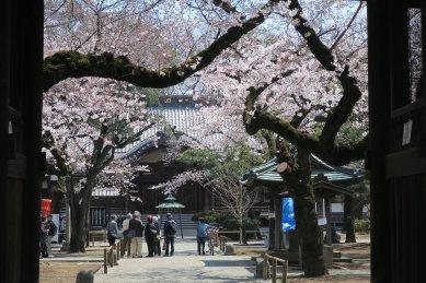 祐天寺仁王門から見た桜