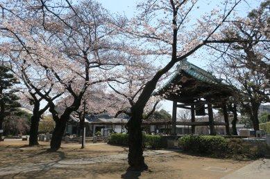 祐天寺鐘楼前の桜
