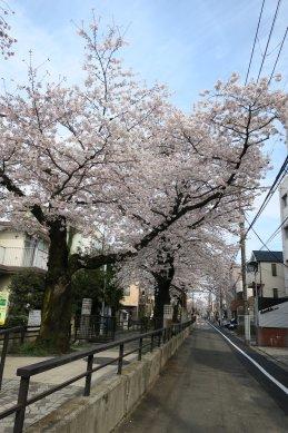 立会川緑道の桜