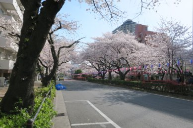 播磨坂の桜