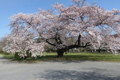 ソメイヨシノ栽培(いつもの木)