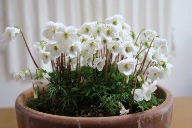 花茎の伸びてきたヒゴスミレ0407