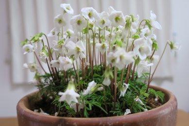 花茎が伸び、花が散り始めたヒゴスミレ