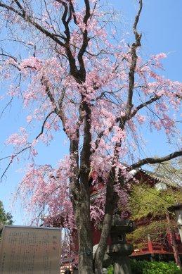 秋色桜・清水観音堂