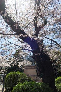 小松宮像とソメイヨシノの原木か