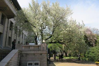 オオシマザクラ・東博庭園