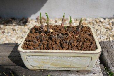 リンドウの芽が膨らんできた