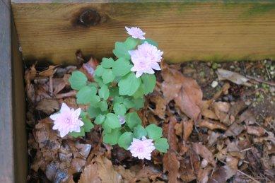 八重梅花唐松の花が咲いた
