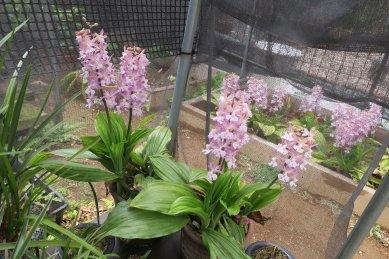 古典植物棚の青帝の香が2鉢咲いていた