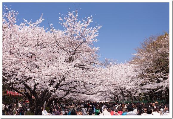 ueno-sakura01.jpg