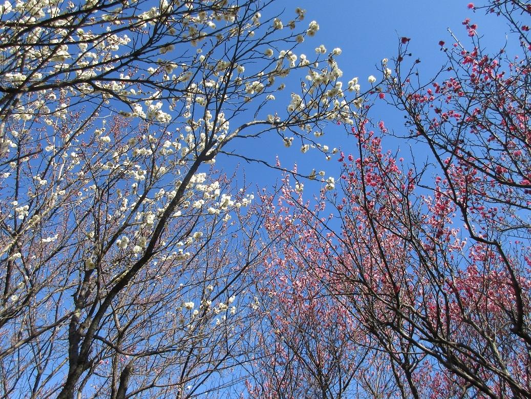 紅白梅と青い空
