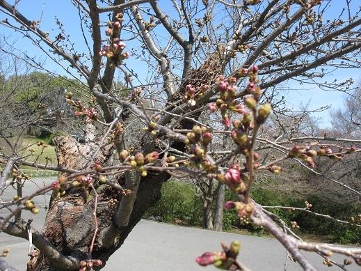 桜 膨らみ始め