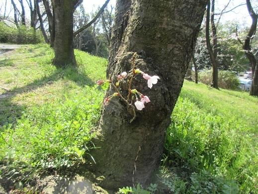根元で咲く桜