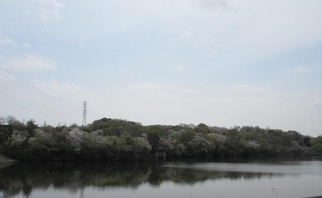 琵琶が池桜と