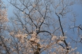 296分咲きの桜