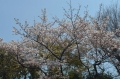 29前庭の桜