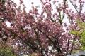 29八重桜
