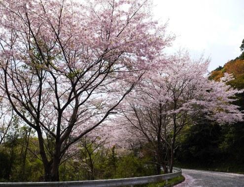 sakurakaidou_04150038.jpg