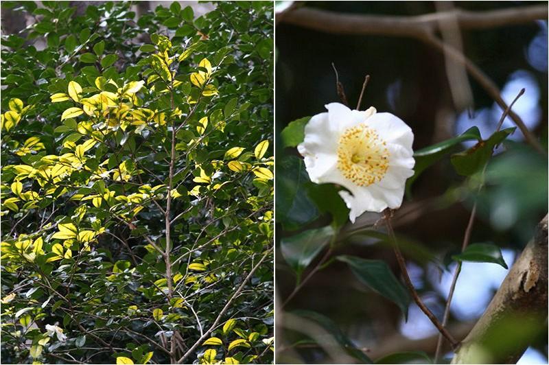 椿の花Collage