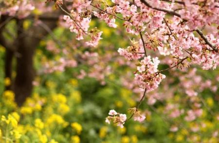 菜の花とのコラボd_1_1