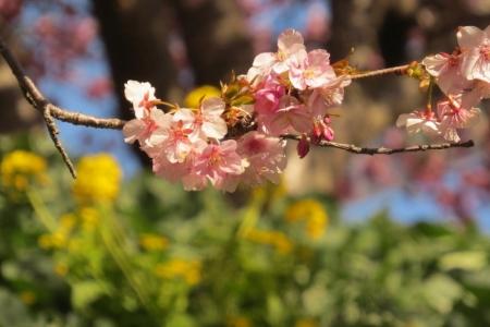 菜の花とのコラボe_1