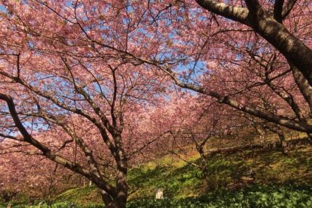 早咲きさくら満開i_1