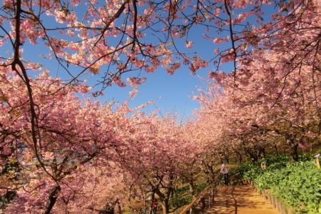 早咲きさくら満開k_1