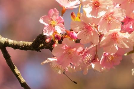 早咲きさくら満開q_1