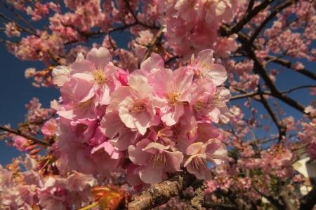 早咲きさくら満開t_1