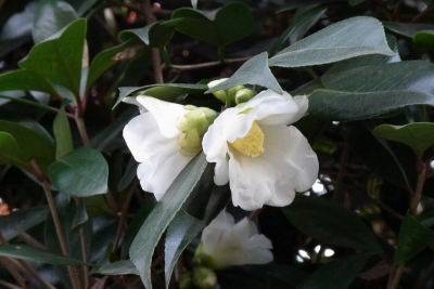 椿:白花 侘助1_1