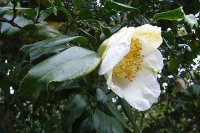 白錦魚葉椿3_1
