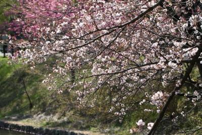 三ツ池桜j_1