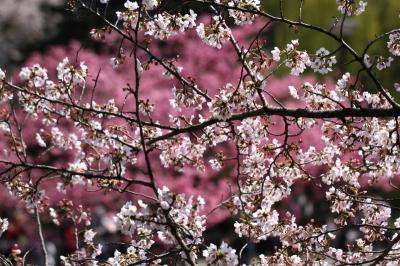 三ツ池桜o_1