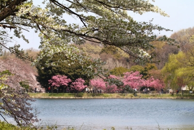 横浜緋桜a_1