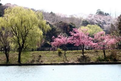 横浜緋桜b_1