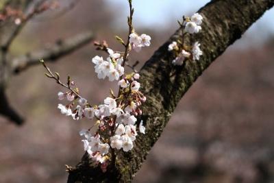 三ツ池桜s_1