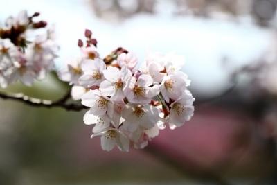 三ツ池桜t_1