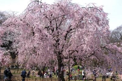 三池桜4a_1