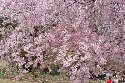 三池桜5a_1