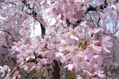 三池桜6a_1