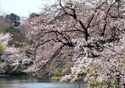 三ツ池桜L_1